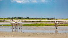 Obecnie krowy żyją na wyspie Outer Banks w Karolinie Północnej (Paula D. O'Mally)