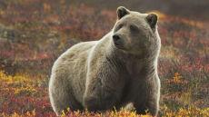 Niedźwiedzie brunatne wrócą do Puszczy Białowieskiej