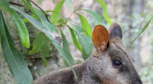 Skalniak brązowoogonowy urodził się w Taronga Zoo